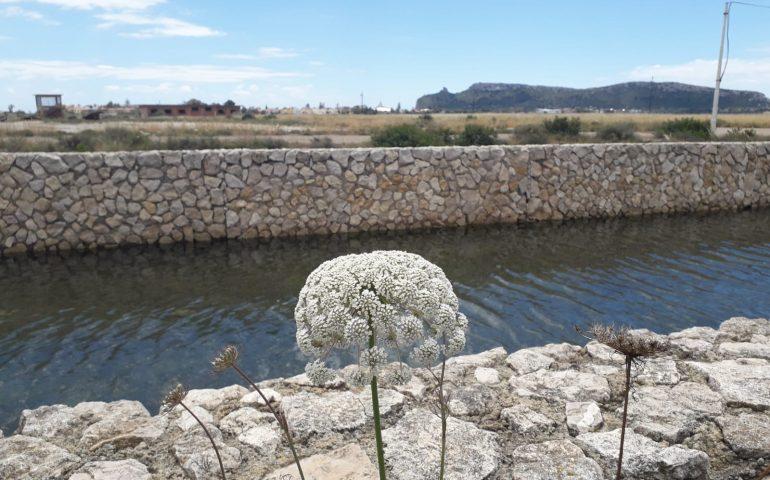 La foto: alle Saline esplode la fioritura delle piante mediterranee, ecco il fiore di basilisco
