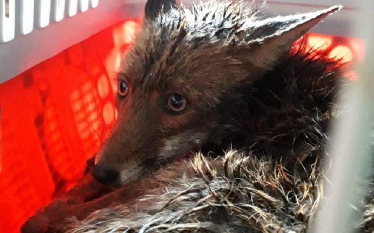 I Vigili del Fuoco salvano una volpe con una zampa intrappolata nel fil di ferro