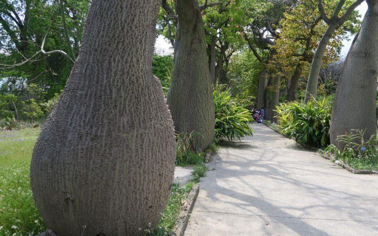 Lo sapevate? A Cagliari esistono alcuni esemplari del raro albero borracho