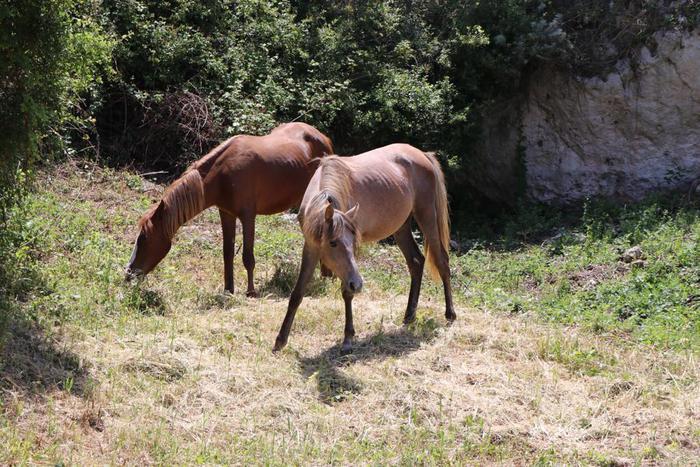 Troppi cavalli selvatici sull'Asinara, il Comune di Sennori ne adotta due