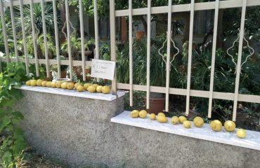 I limoni che a Villacidro vengono regalati