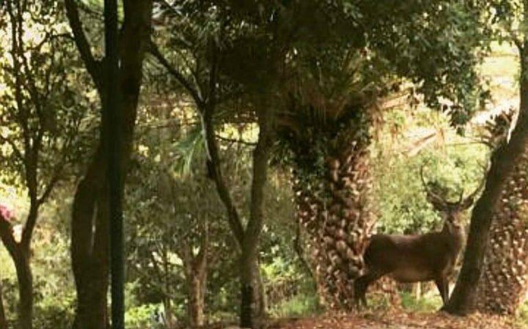 La foto. Un cervo cerca cibo tra le case di Villaggio Rolandi a Montevecchio
