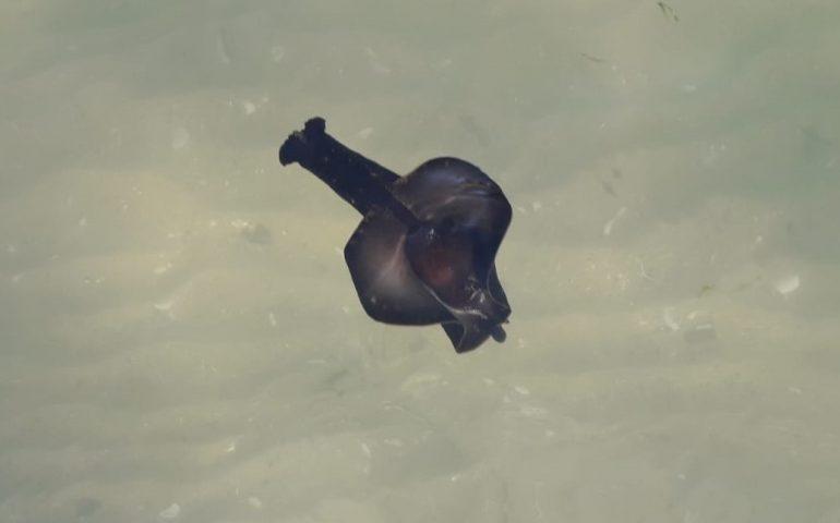 """Lepri di mare a Giorgino: nel video l'affascinante """"volo"""" di un mollusco elegante"""