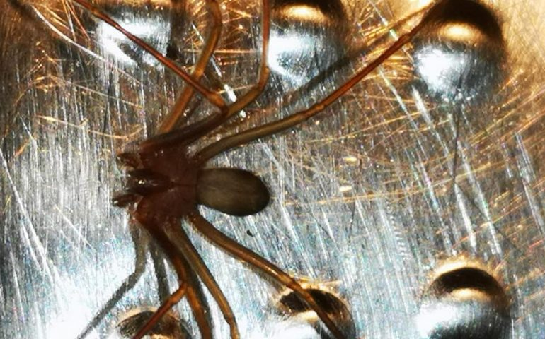Conosciamo il ragno violino: troppo spesso si uccidono ragni innocui per errore