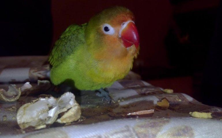 Quartu, aiutiamo Alessandra a ritrovare il suo pappagallo. Hanno bisogno l'una dell'altro