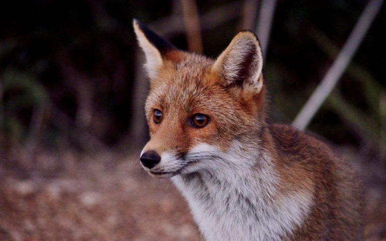 """Lo sapevate? Esiste una sottospecie di volpe chiamata """"Ichnusae"""", endemica della Sardegna"""