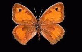 farfalla sarda