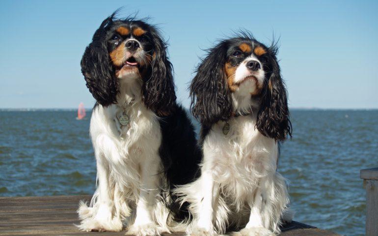 Capoterra. Ruba un cane di razza Cavalier King a gennaio: denunciato dai carabinieri