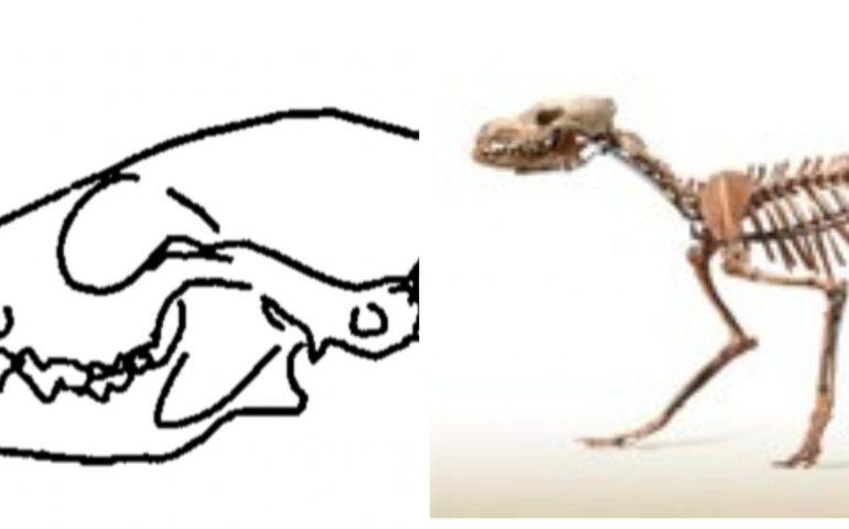 Avete mai sentito parlare del cinoterio sardo? Un canide lupino preistorico che si è estinto: la storia