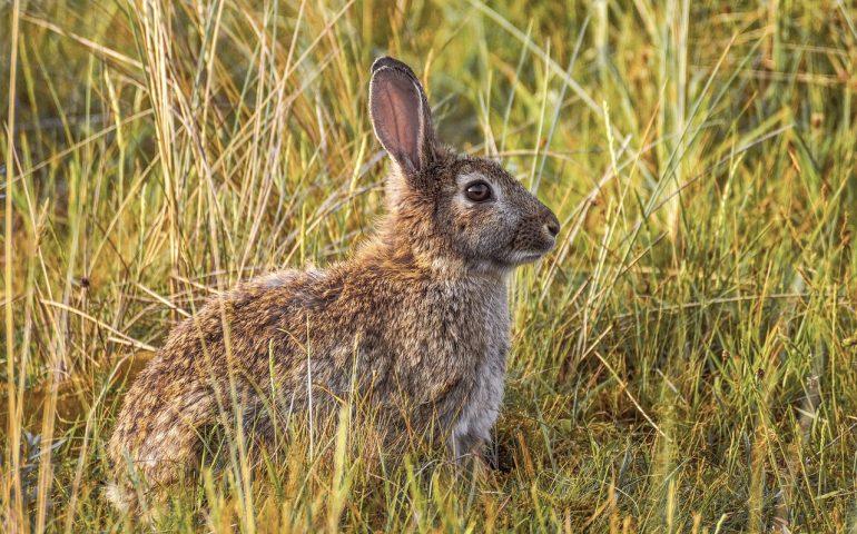 Sardegna: il Tar sospende definitivamente la caccia al coniglio selvatico