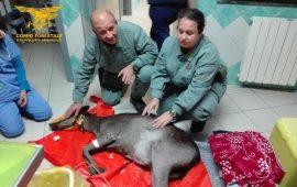 Marceddì, cerva ferita inseguita da cani randagi salvata dalla Forestale