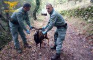 Gadoni, muflone in difficoltà soccorso dalla Forestale