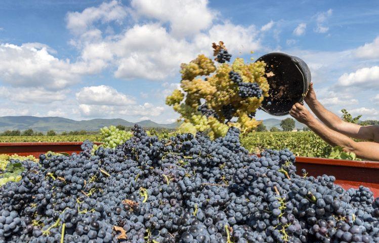 Dagli scarti della vinificazione, prodotti per salute e bellezza: ecco il progetto per le imprese sarde