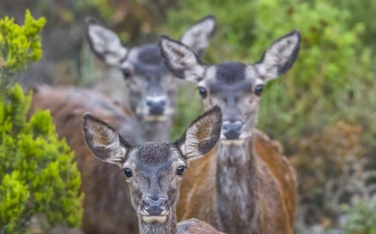 La foto. Cerbiatte nei boschi di Montevecchio