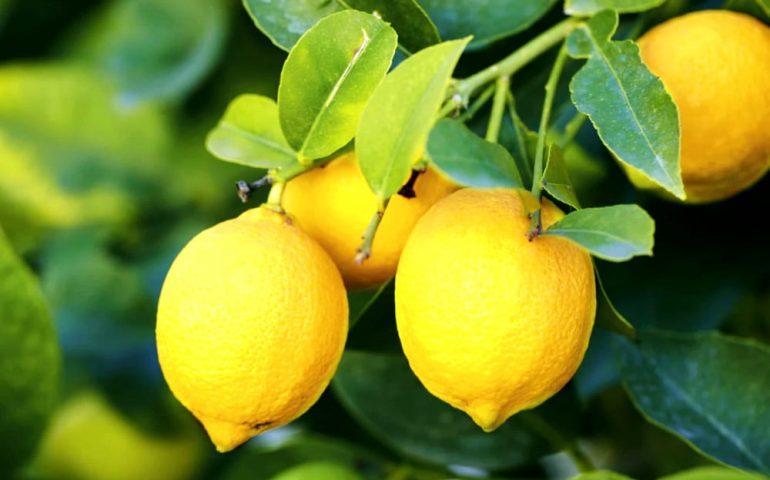 Salute e bellezza: il limone e le sue innumerevoli proprietà curative