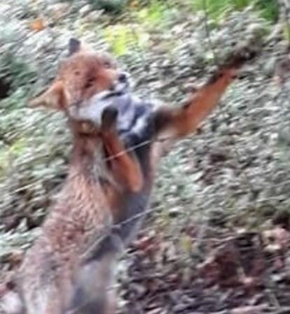 Villacidro: la Forestale salva una volpe finita nella trappola dei bracconieri