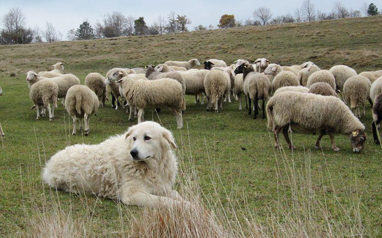 Arbus, spara al cane del vicino che aveva ucciso due suoi agnellini