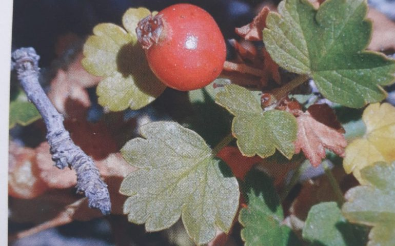Lo sapevate? Il Ribes di Sardegna è una pianta rara che vive solo sul Supramonte