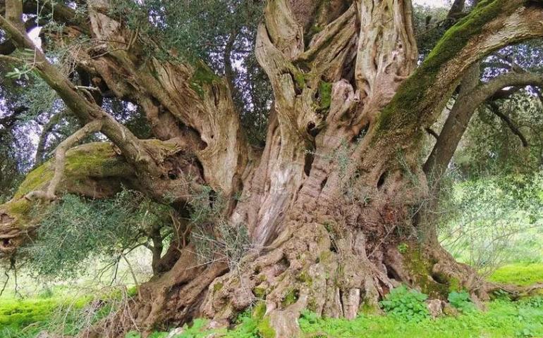 Lo sapevate? L'essere vivente più vecchio d'Italia vive in Sardegna. Scoprite dove si trova