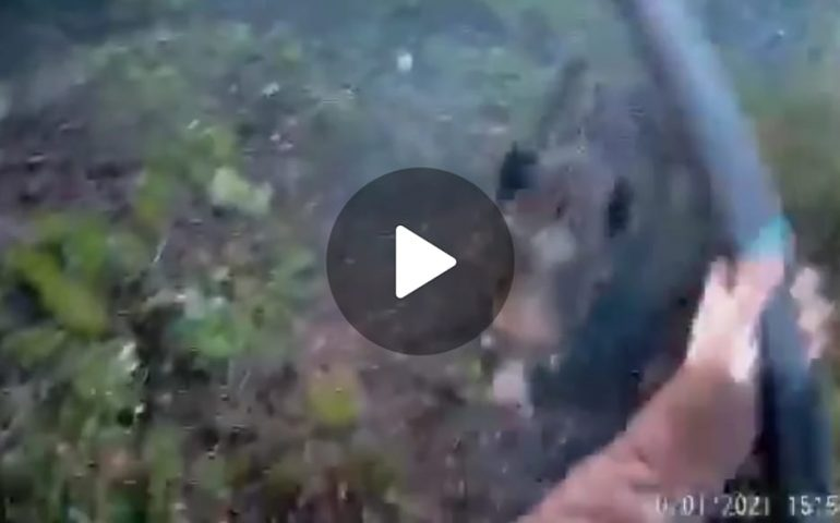 (VIDEO) Cacciatrice attaccata da un cinghiale si salva colpendolo col fucile. Video impressionante