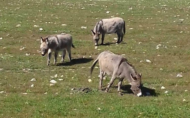 La foto. Tre asini in libertà si godono l'aria pura: lo scatto da Bari Sardo
