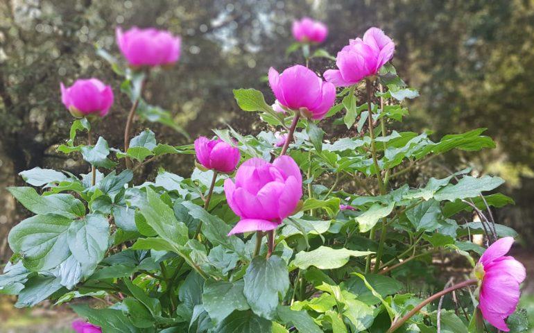 """Le foto dei lettori. La grande bellezza della """"Rosa di Montagna"""" (Peonia) nel Monte Tonneri a Seui"""