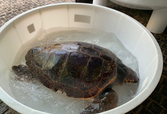 Cala Luna, tartaruga che aveva ingerito plastica salvata dagli specialisti del Cnr