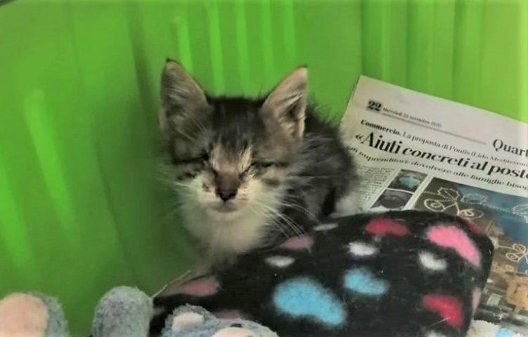 Il piccolo Gipo, gattino senza occhietti: appena tre etti di peso, per lui si cerca un'adozione del cuore