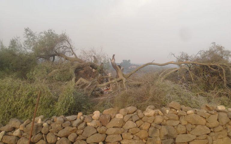 L'incendio di Cuglieri: distrutto dal fuoco l'olivastro millenario di Tanca Manna