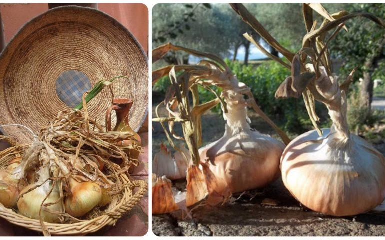 Lo sapevate? In Sardegna cresce una cipolla che non esiste in nessun altro luogo