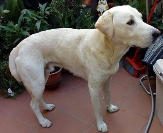 Selargius: si cerca una casa per il cane che girovaga in città. Il canile per lui significherebbe morte
