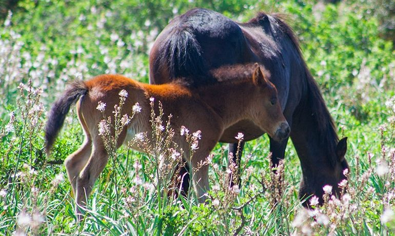 Lo sapevate? I cavallini della Giara discendono dai cavalli selvatici presenti in Sardegna già dal Neolitico