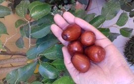Salute e bellezza: su zinzulu, la giuggiola, frutto raro e ricco di proprietà