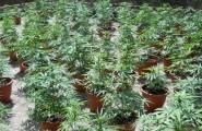 Tiana, scoperta e sequestrata una piantagione di cannabis