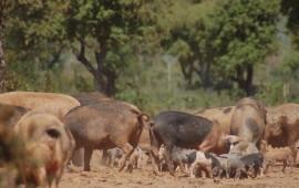 Desulo, abbattute decine di maiali allo stato brado illegale, non registrati e mai sottoposti a controllo