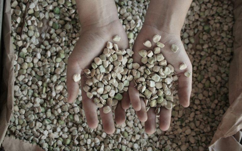 S'inchixa, il legume antico dalle molte proprietà torna a crescere nel cuore della Marmilla