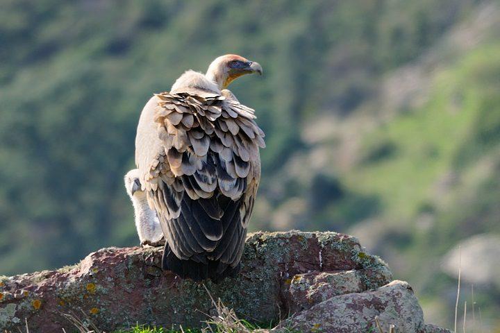 Lo sapevate? L'avvoltoio grifone è uno degli animali più rari in Sardegna