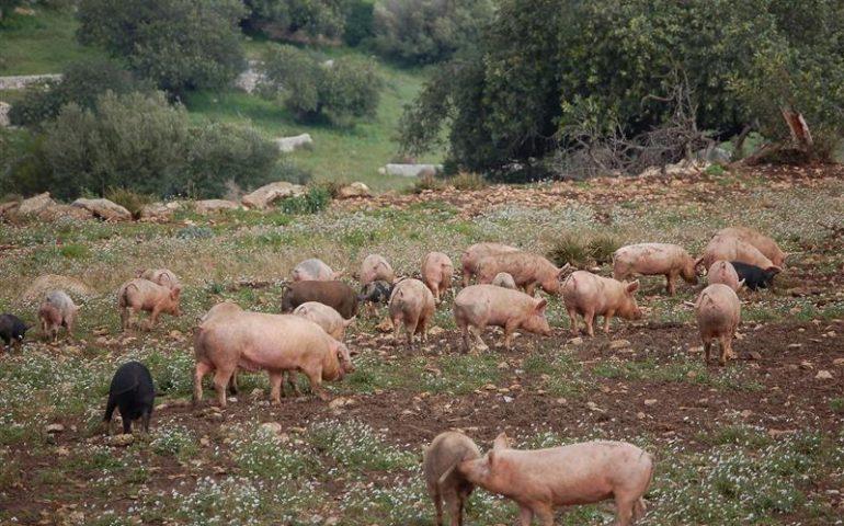 Baunei, allevatore si ribella ad abbattimento dei maiali e spara in aria