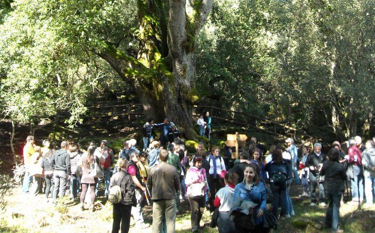 Lo sapevate? In Sardegna censiti oltre 400 Alberi Monumentali: il record è nazionale e l'Ogliastra spicca