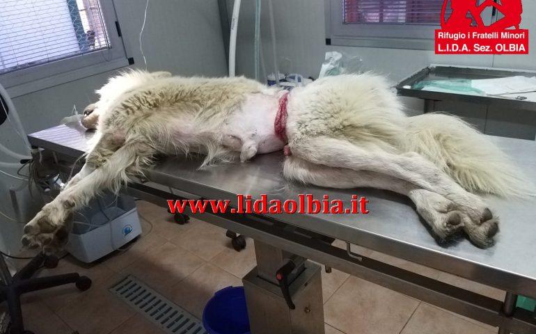 Finalmente salvo Michele, il cane ferito dai bracconieri. Era letteralmente segato in due da un fil di ferro