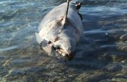 Ritrovato un delfino spiaggiato a Golfo Aranci