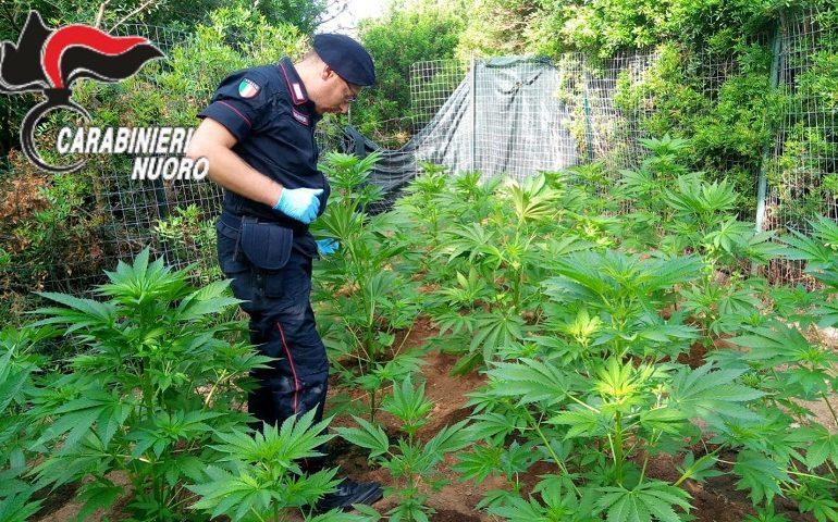 Tertenia, scoperta piantagione di cannabis in località Baccu Longu. Caccia ai responsabili