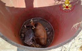 Mucca cade in un pozzo, salvata dai vigili del fuoco