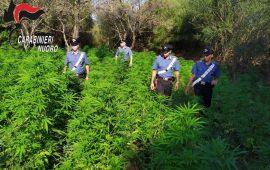 Budoni, scoperte tre piantagioni dai carabinieri. Arrestato un 68enne
