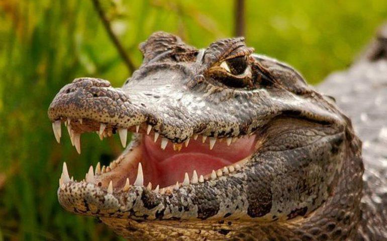 (VIDEO) Canti a tenore per Jack: il caimano continua a far parlare di sé