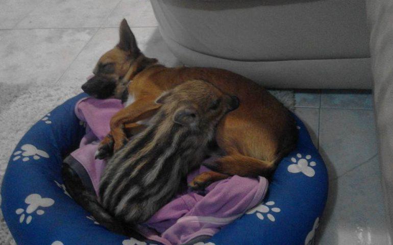 La storia del cinghiale Ciccio, salvato da cucciolo e oggi mascotte di Montarbu