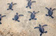 Cala Sinzias, ancora fiocchi rosa e azzurri: sono nate altre 17 tartarughine