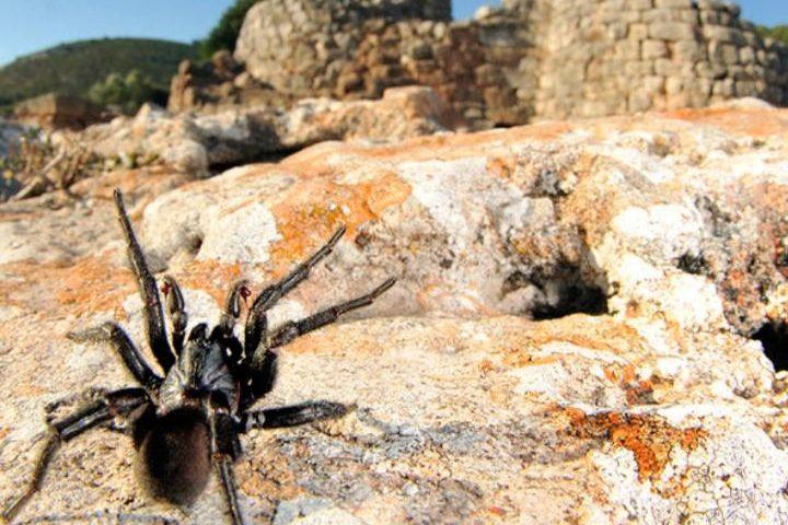 """Lo sapevate? In Sardegna c'è il """"Ragno Nuragico"""" per ora individuato solo nell'Isola"""