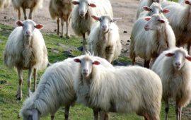 Latte ovino, via libera a fondo nazionale. «Aiuto concreto per i nostri pastori» dice l'Assessore Murgia