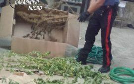 Tortolì, 40enne con la serra di marijuana in casa. Denunciato per coltivazione illegale al fini di spaccio